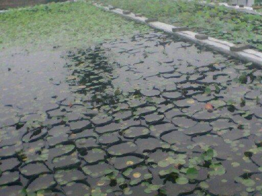 盆栽荷花池