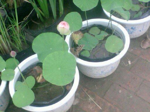 盆栽荷花品种