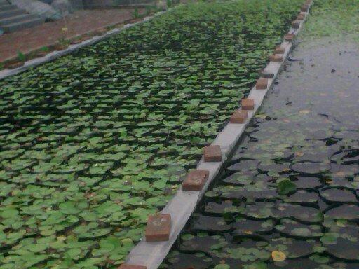盆栽荷花基地