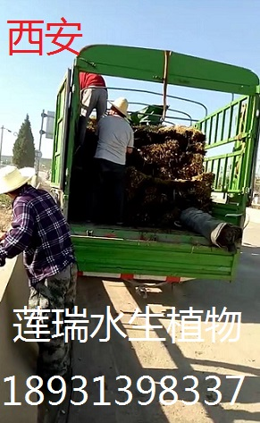 陕西西安芦苇种植