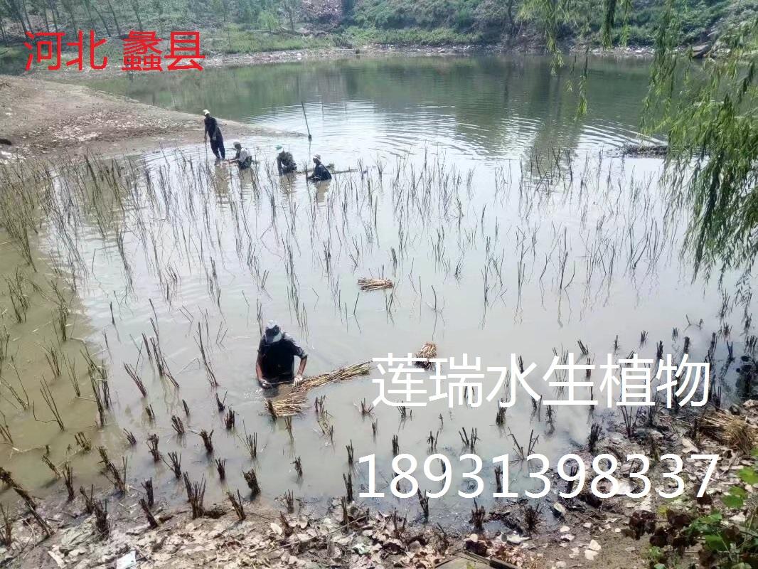 河北蠡县坑塘芦苇种植