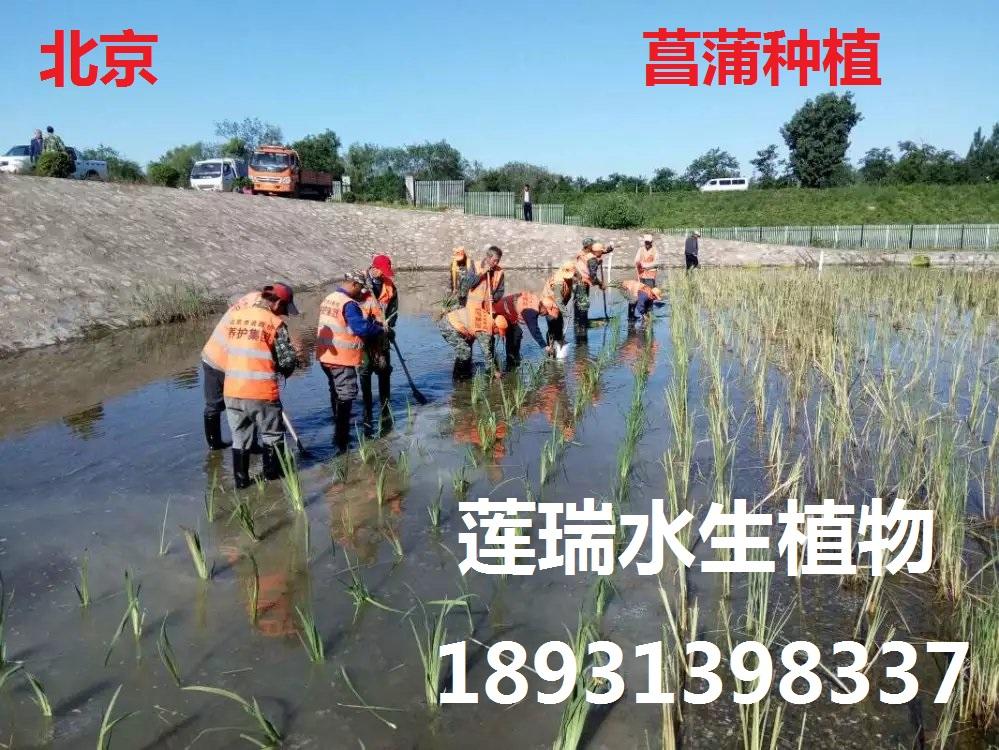 菖蒲种植北京