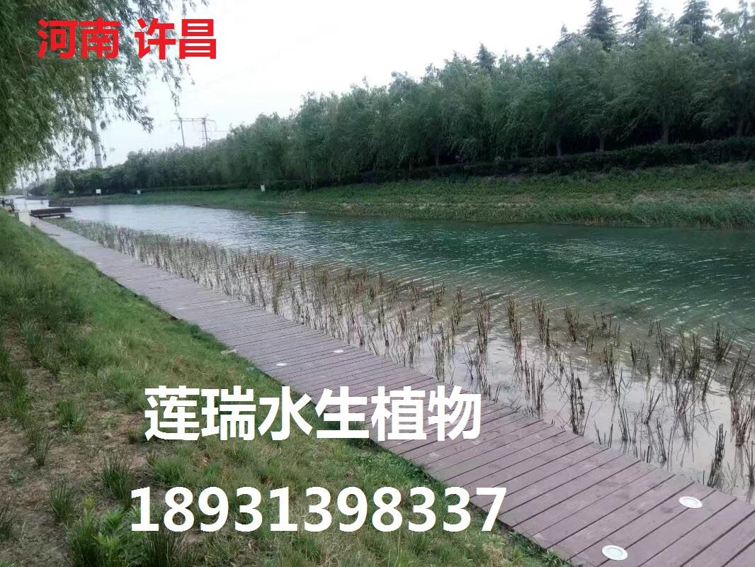 许昌市芦苇种植