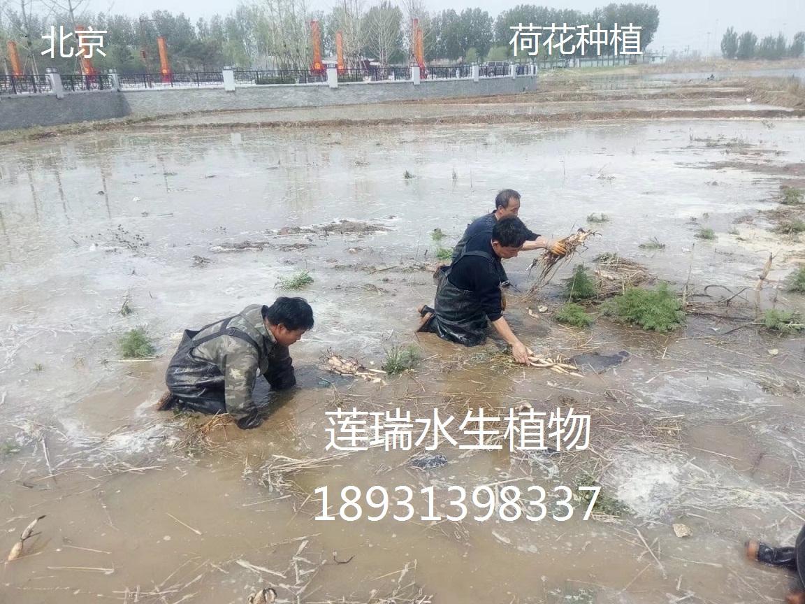 北京荷花种植
