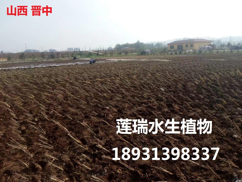 山西晋中生态湿地工程 种植芦苇