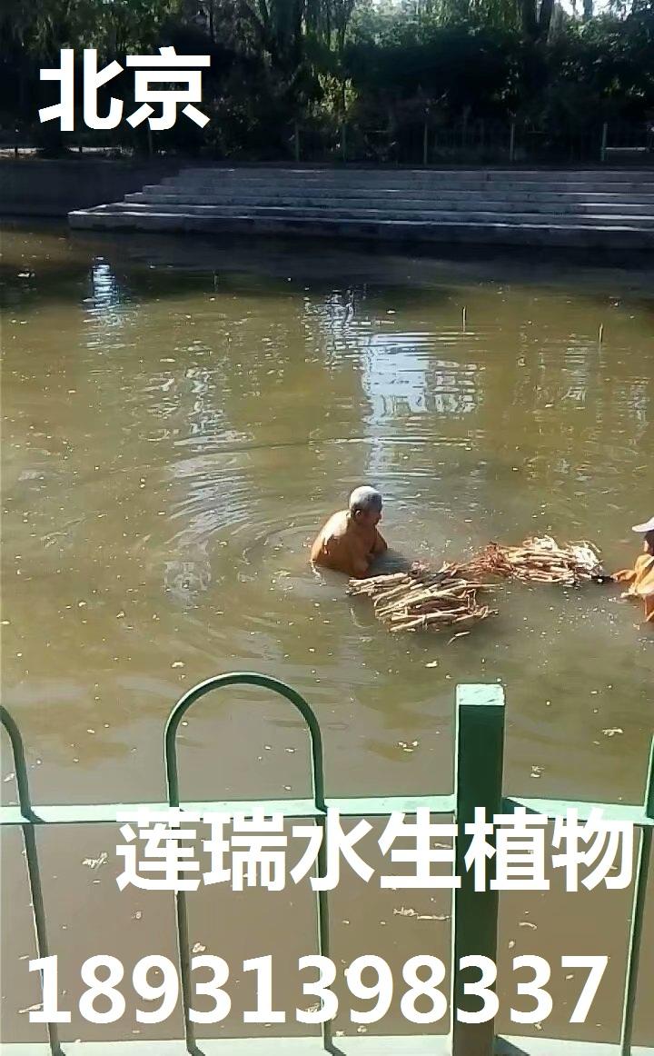 北京东郊公园荷花种植