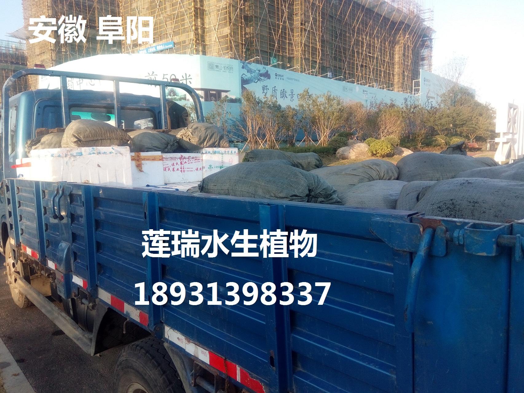 安徽阜阳沉水植物种植