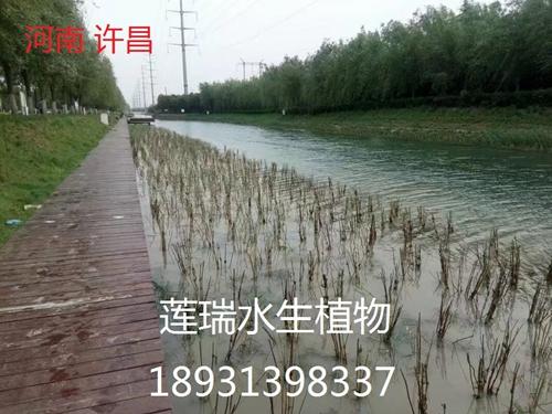 许昌市芦苇种植工程