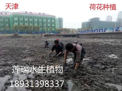 天津农学院荷花种植