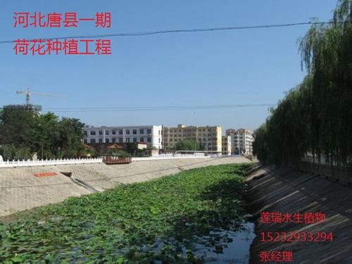 唐县荷花种植工程